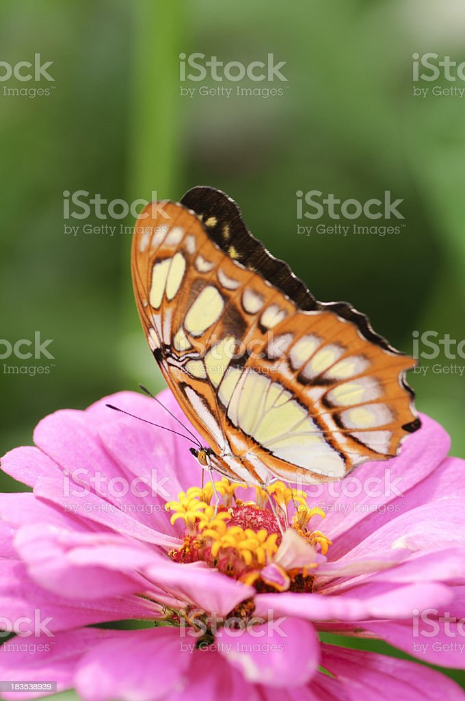 Malachite butterfly sitting on a pink zinnia flower royalty-free stock photo