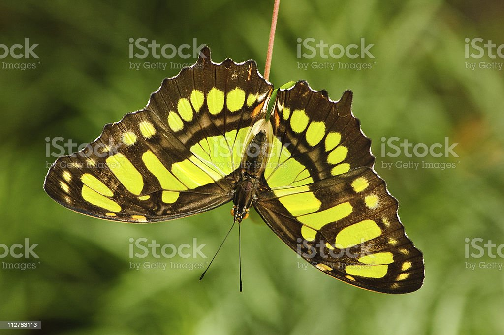 Malachite butterfly sitting on  a small branch stock photo