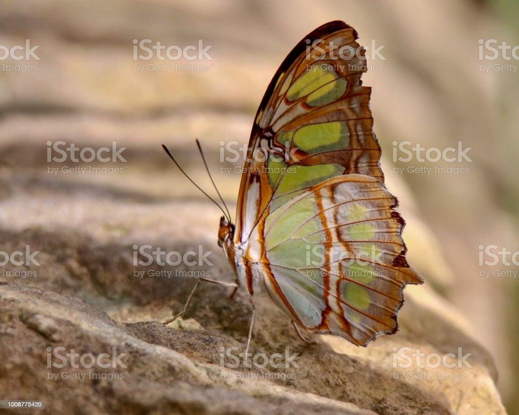 Malachite Butterfly sitting on stone stock photo