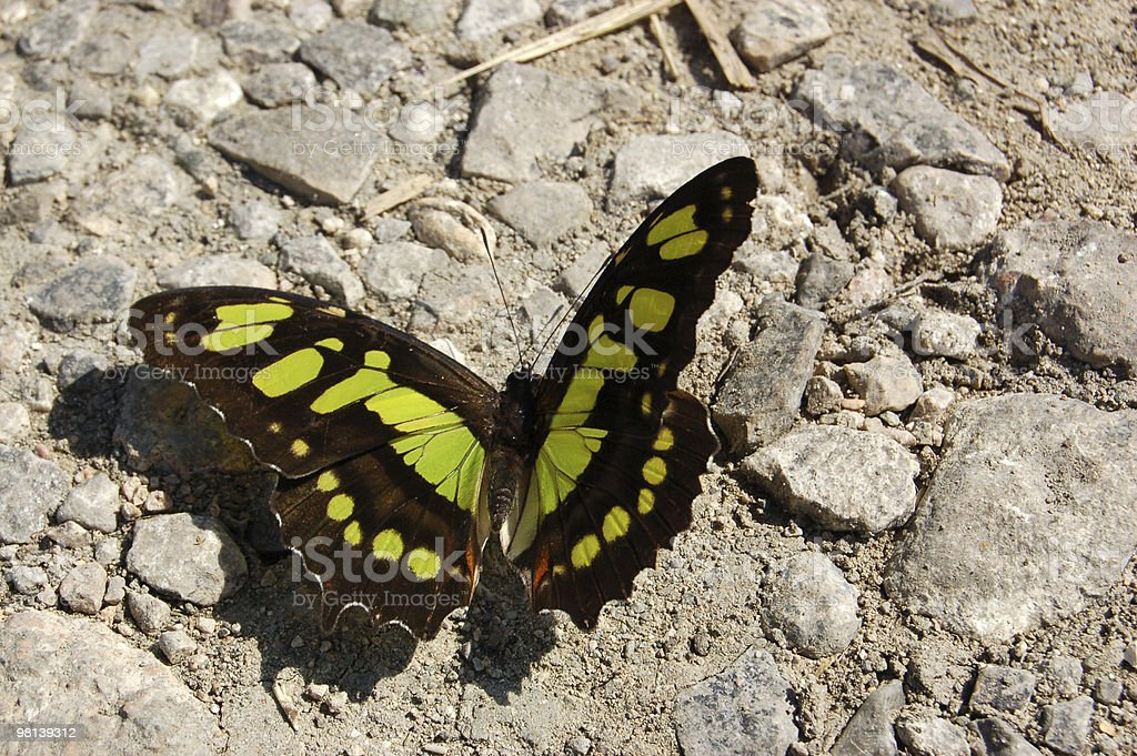 Malachite Butterfly Sunbathing royalty-free stock photo
