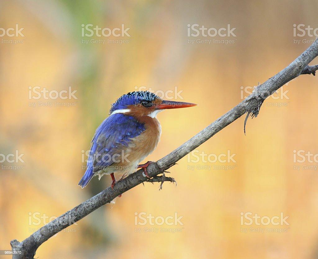 Malachite kingfisher perched on a stick royalty-free stock photo