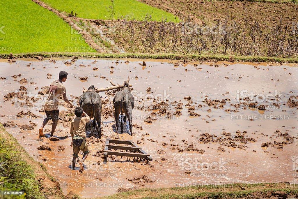 Ariary cueillette de garçon animaux un champ de riz - Photo