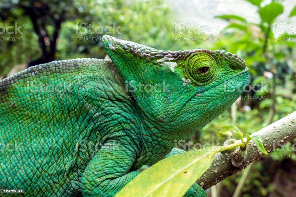 Malagasy Giant Chameleon / Furcifer oustaleti royalty-free stock photo