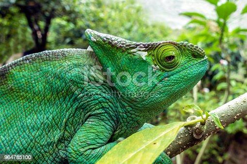 Malagasy Giant Chameleon Furcifer Oustaleti Stock Photo & More Pictures of Amphibian