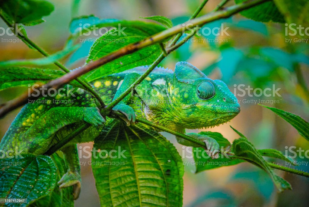 Malagasy Giant Chameleon - Foto stock royalty-free di Animale