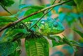 Close Up of Malagasy Giant Chameleon in Madagascar