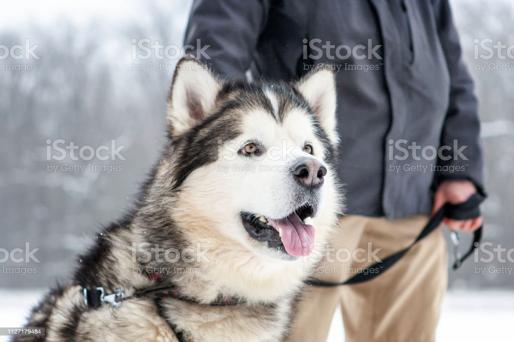 malamute cute big dog sitting. winter season. lifestile with dogs....