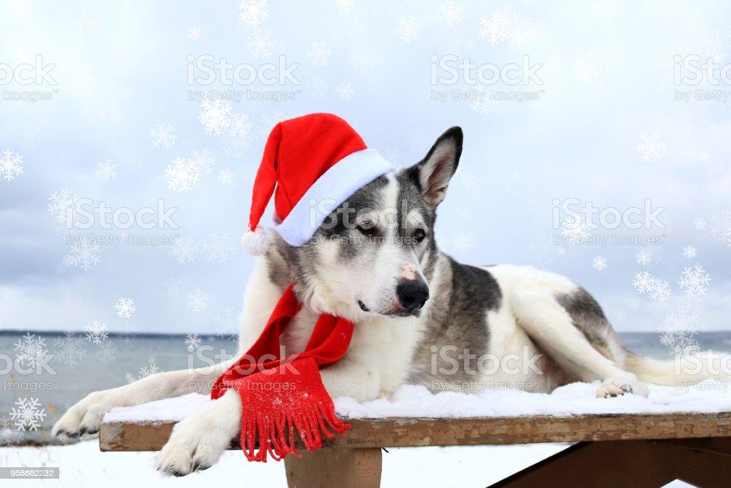 Malamute dog wearing a santa hat stock photo