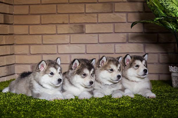 Malamute puppies lying on the green grass stock photo