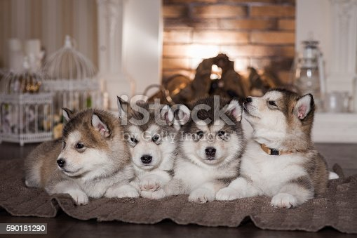 Malamute puppies lying on woolen plaid and warming themselves by the fireplace. Four puppies. Selective focus, toned image. Horizontal