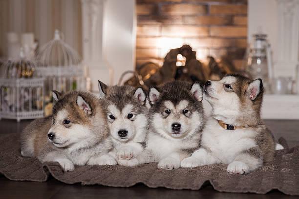 Malamute puppies lying on woolen plaid stock photo