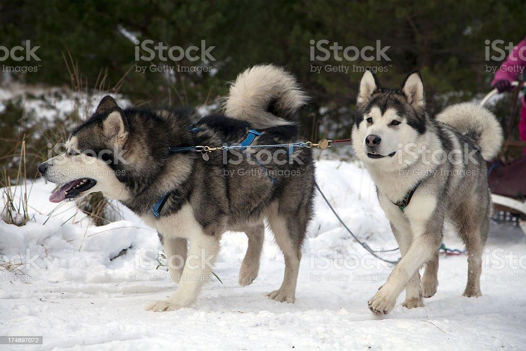 Malamute Sled Dogs royalty-free stock photo
