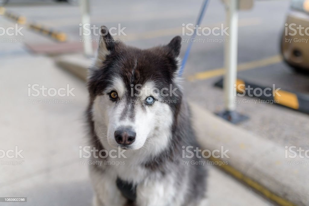 Malamute with one blue eye and one brown eye stock photo