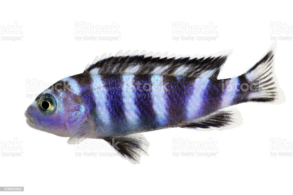 Malawi Cichlid Pseudotropheus demasoni tropical aquarium fish isolated stock photo