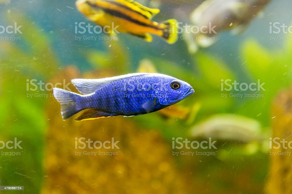 Malawi Cichlid Fish | Malawi Cichlids Fish Of The Genus Sciaenochromis Stock Photo More
