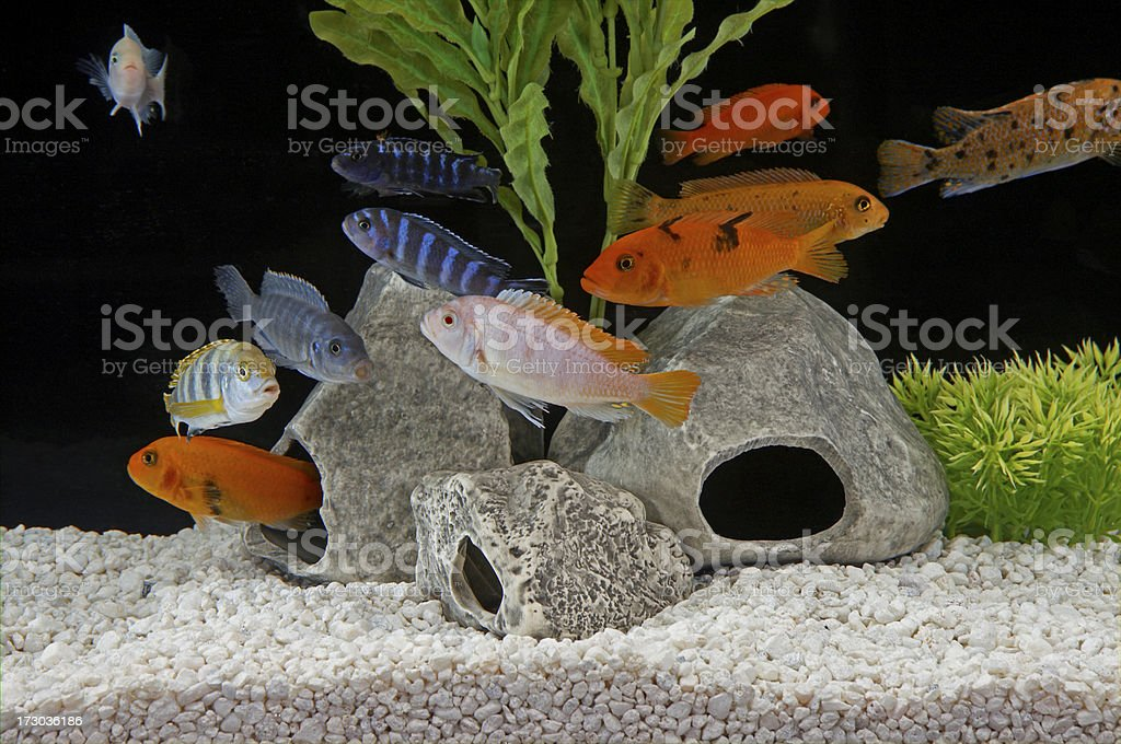 Malawi Cichlids in tropical tank stock photo