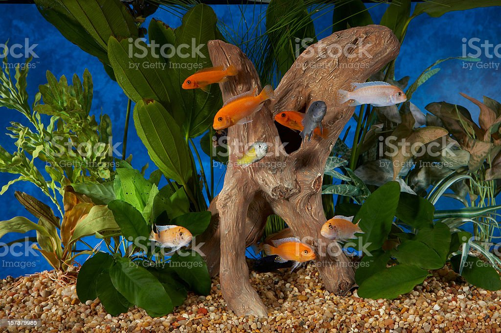 Malawi Cichlids Large group in tropical tank stock photo