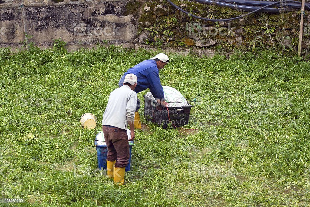 Malay farmers in wet field royalty-free stock photo