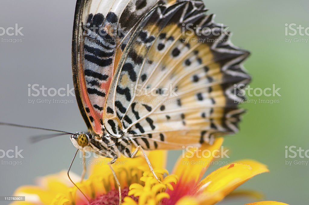 Malay lacewing butterfly on a colorful flower. royalty-free stock photo
