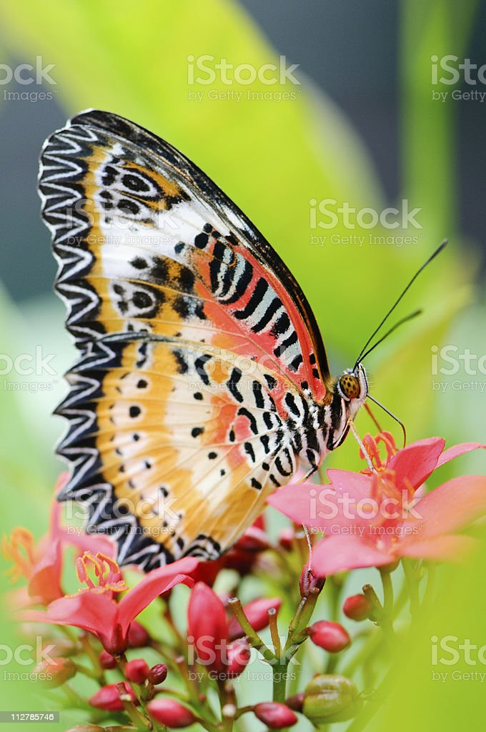 Malay lacewing (Cethosia hypsea) stock photo