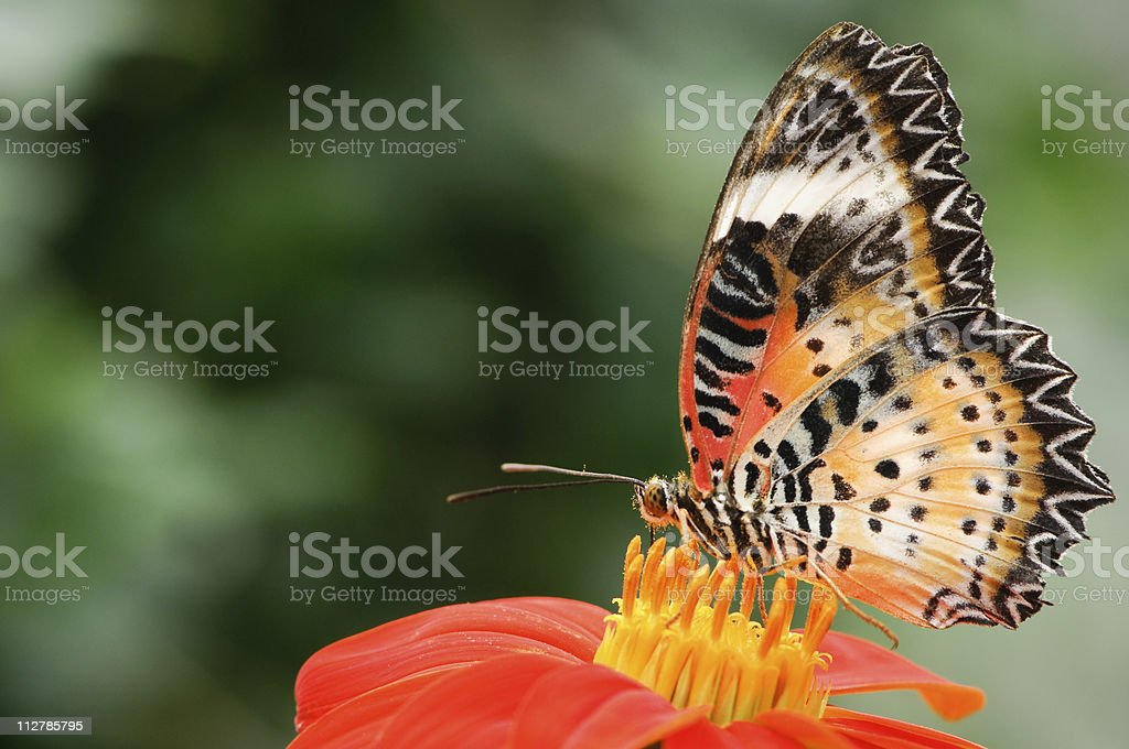 Malay lacewing (Cethosia hypsea) royalty-free stock photo