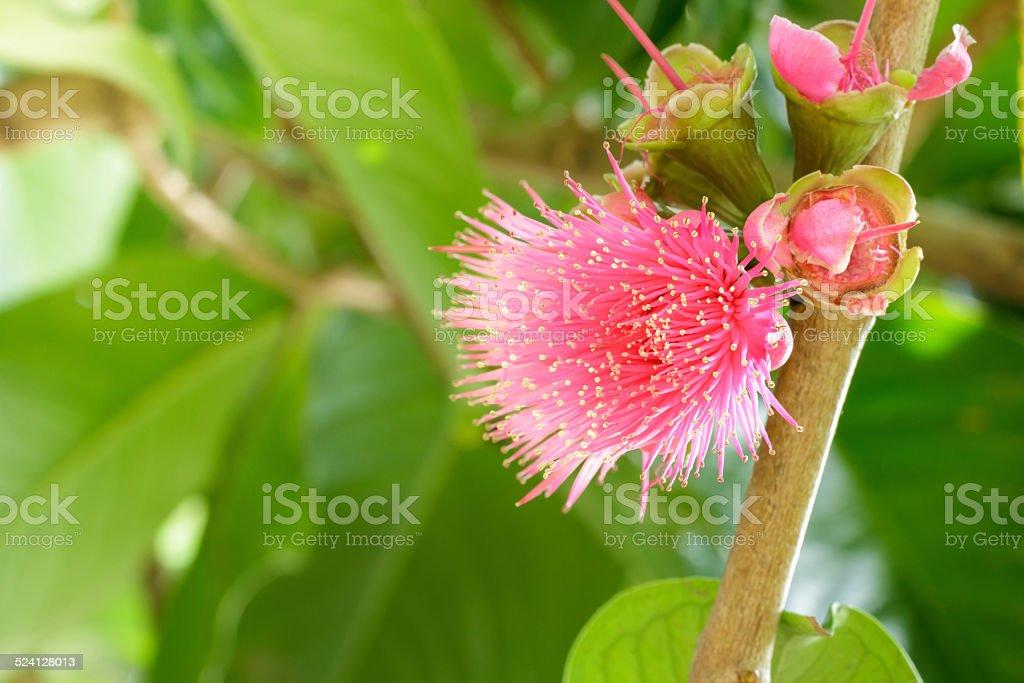 Malay rose apple flower ,Malay apple,Pomerac flower . stock photo