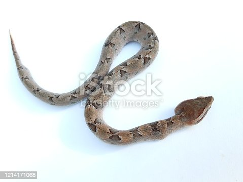 Malayan pit viper found in southern Thailand