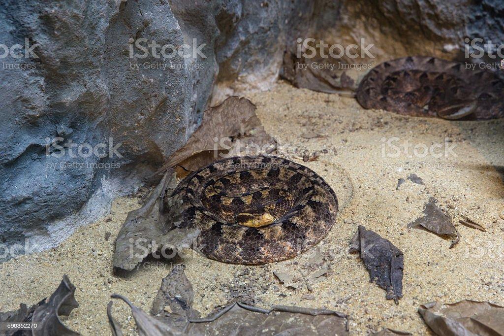 Malayan Pit Viper Snake royalty-free stock photo