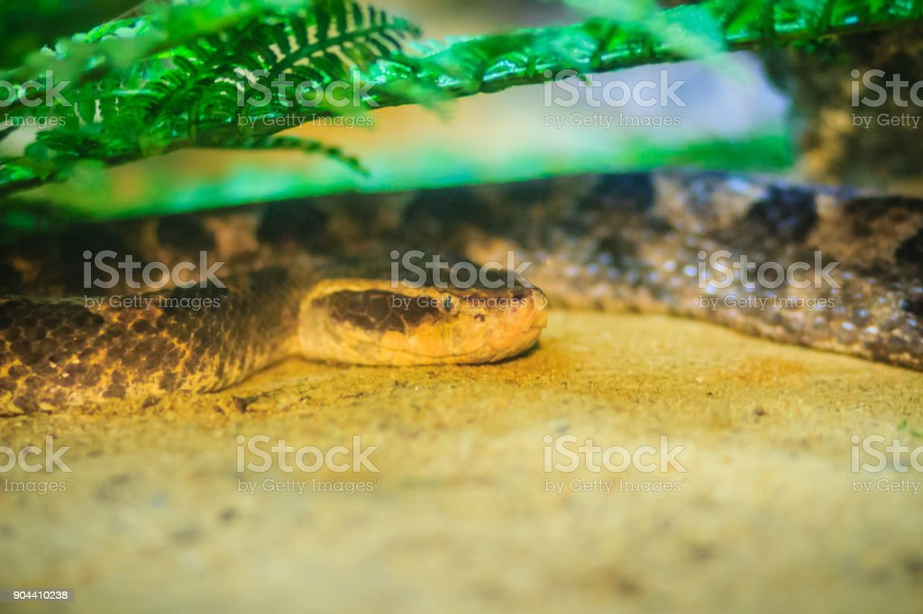 Malayan pit viper (Calloselasma rhodostoma), very dangerous snake. stock photo