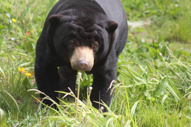Malayan Sun Bear stock photo
