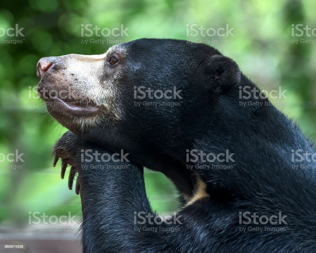 Malayan sun bear. - Royalty-free Animal Stock Photo
