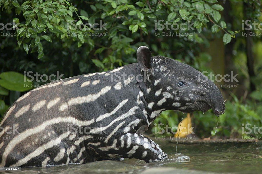 Malayan tapir  (tapirus indicus) in the water stock photo