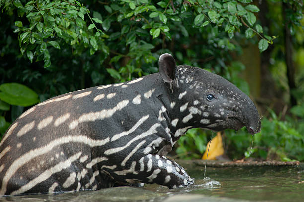 Malayan tapir  (tapirus indicus) in the water stock photo