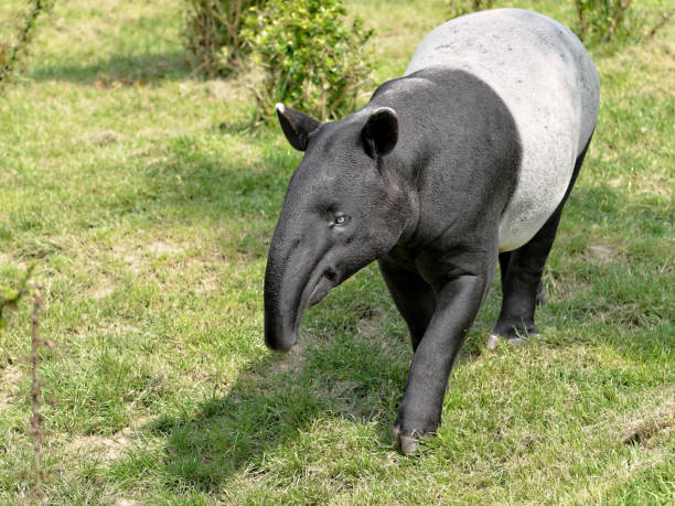 Malayan tapir on grass stock photo