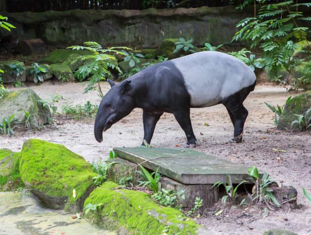 Malaiischen Tapir. – Foto