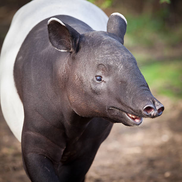 Malayan Tapir (Tapirus indicus) stock photo