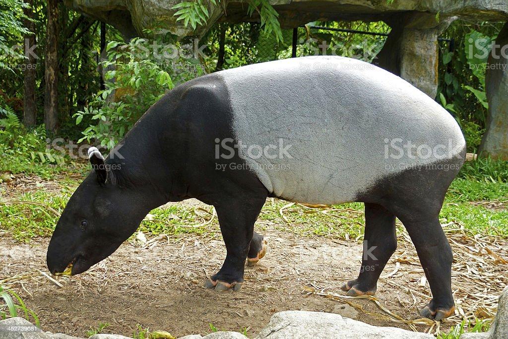 malayan tapir (tapirus indicus) Thailand. stock photo