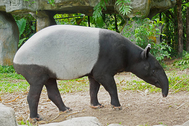 malayan tapir (tapirus indicus) Thailand. stock photo