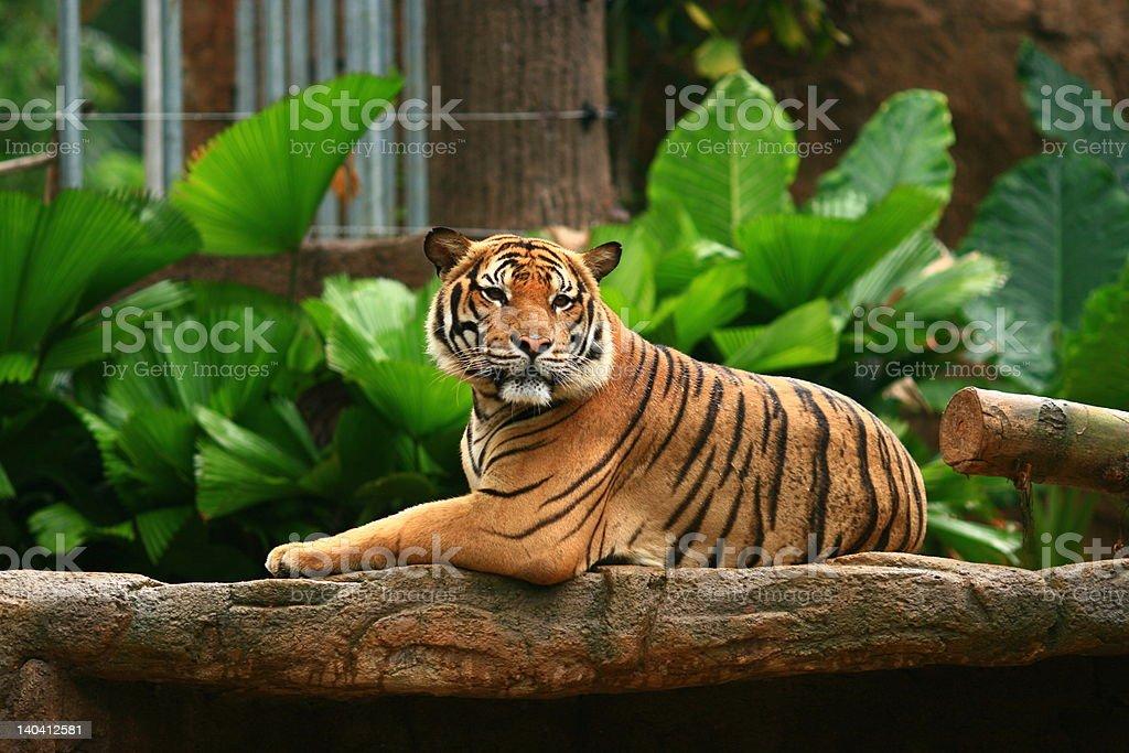 Malayan Tiger Chin-Up royalty-free stock photo