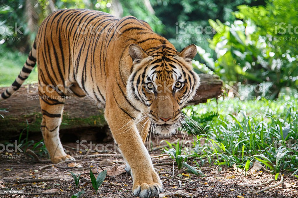Malayan tiger is walking towards viewer lookig straight stock photo