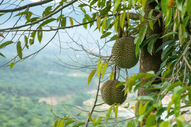 Malaysia famous king of fruits Blackthorn durian tree. stock photo