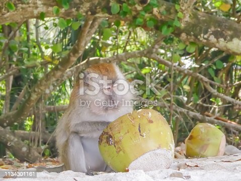 A male adult Macaque monkey sitting on the beach under the trees and eating the leftovers of the coconut drink from a coconut shell. Monkey beach, Penang, Malaysia. Sad expression on animals face