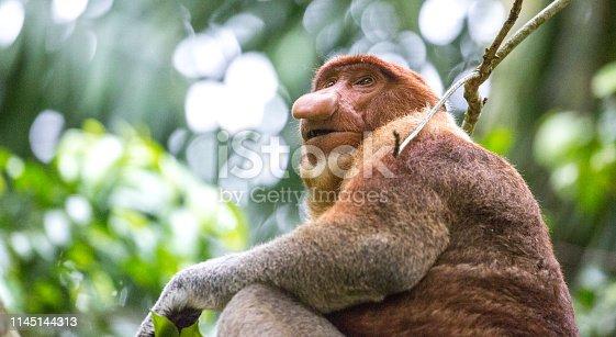 A Proboscis Monkey (Nasalis larvatus, long-nosed monkey or bekantan) in the dense rainforest of Bako National Park in Borneo.