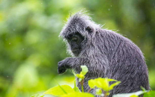 Malaysia: Silvery Lutung A Silvery Lutung (Trachypithecus cristatus aka silvered leaf monkey or the silvery langur) in the dense rainforest of Bako National Park in Borneo. langur stock pictures, royalty-free photos & images