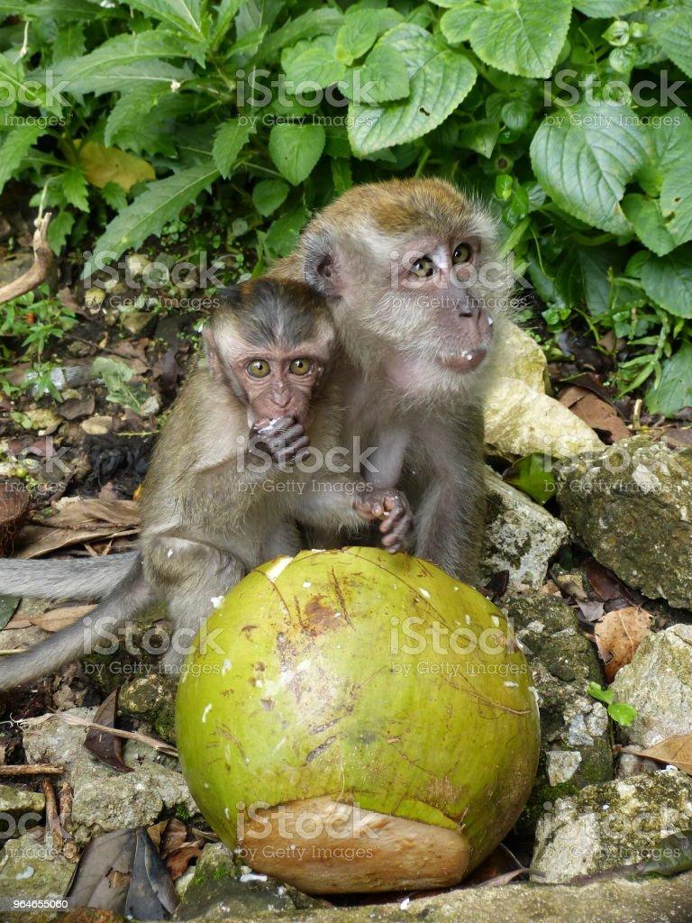 Malaysian monkeys royalty-free stock photo