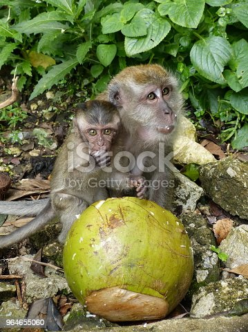 Baby monkey (macaque) eats a coconut with his mother.
