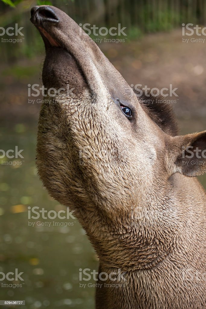 Malaysian tapir with nose in the air. stock photo