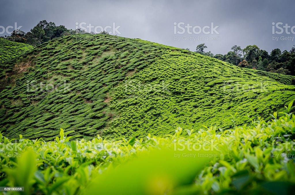 Malaysian Tea Plantation stock photo