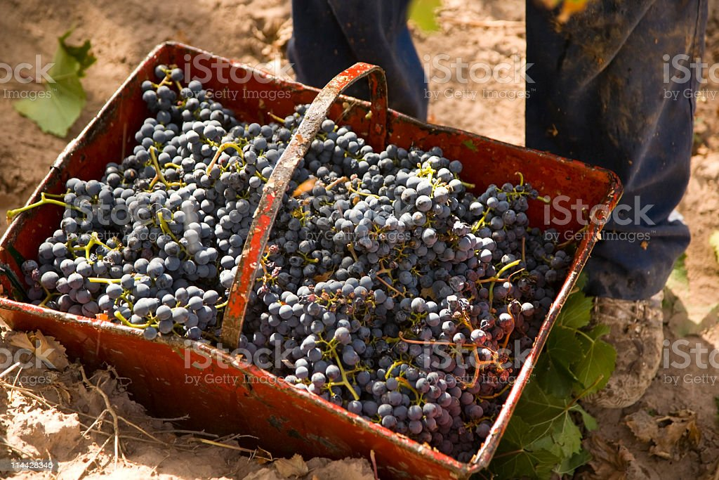 Malbec grapes harvest royalty-free stock photo