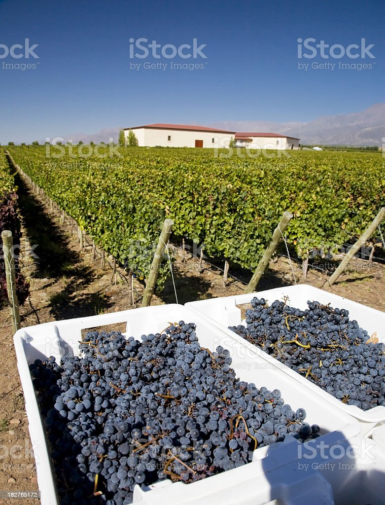 Malbec Grapes royalty-free stock photo